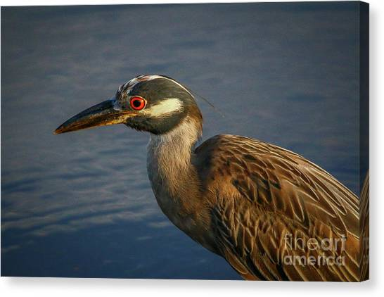Canvas Print featuring the photograph Night Heron Portrait by Tom Claud