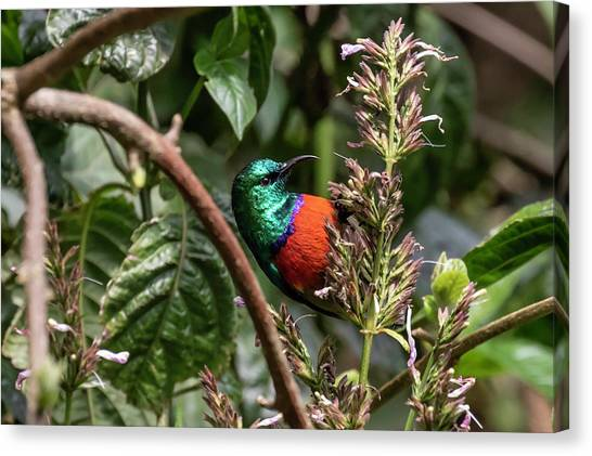 Northern Double-collared Sunbird Canvas Print