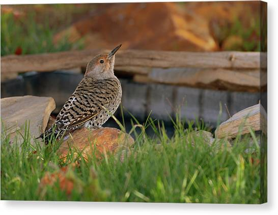 Northern Flicker Canvas Print - Northern Flicker by Gary Langley