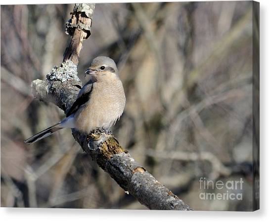 Northern Shrike Canvas Print