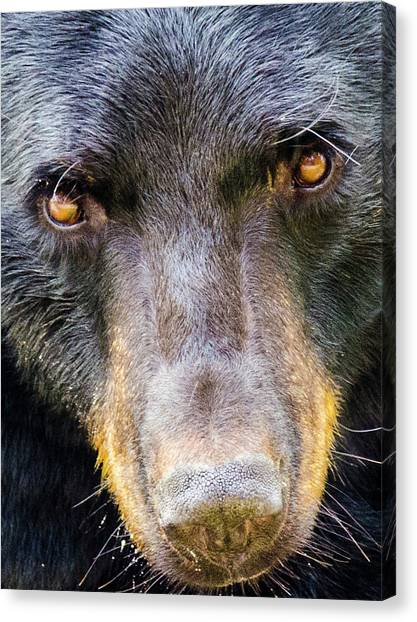 Nosy Bear Canvas Print