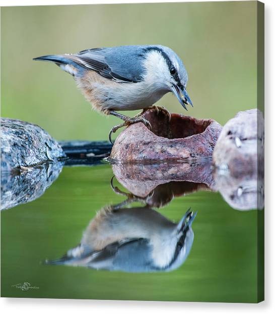 Nuthatch's Catch Canvas Print