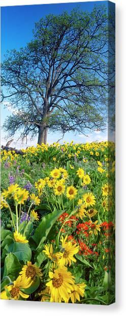 Oak Tree, Arrowleaf Balsam Root Canvas Print by Stuart Westmorland