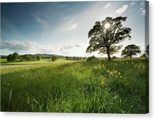 Oak Tree Canvas Print by Jeremy Walker