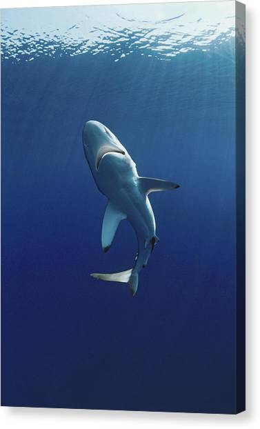 Oceanic Blacktip Shark Canvas Print