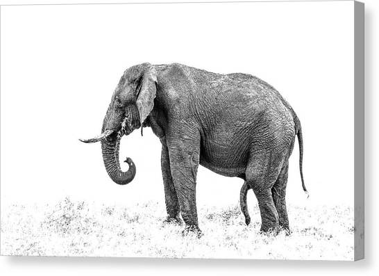 Old Five Legs Canvas Print