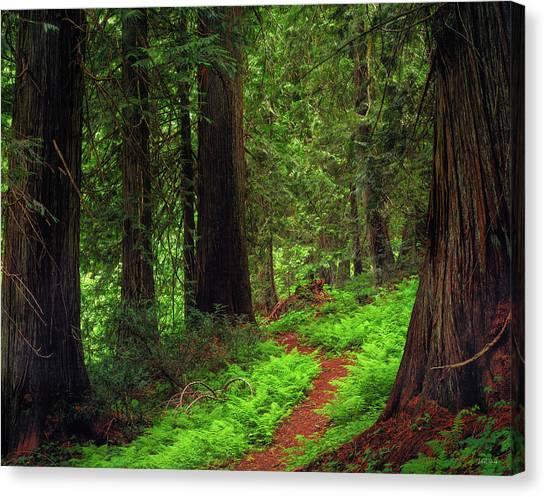 Forest Paths Canvas Print - Old Growth Cedars by Leland D Howard