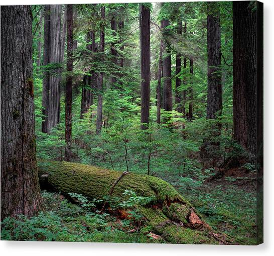 Old Growth Forest Canvas Print by Leland D Howard