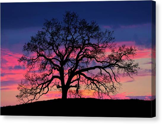 Canvas Print featuring the photograph Old Oak Sunset by John Rodrigues