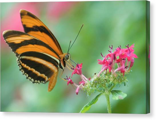 Orange Butterfly Feeding On Pink Flowers Canvas Print