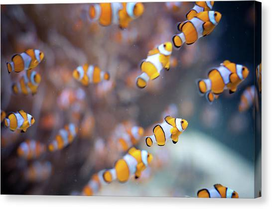 Anemonefish Canvas Print - Orange Clown Fish In Water by Www.jakovcordina.com