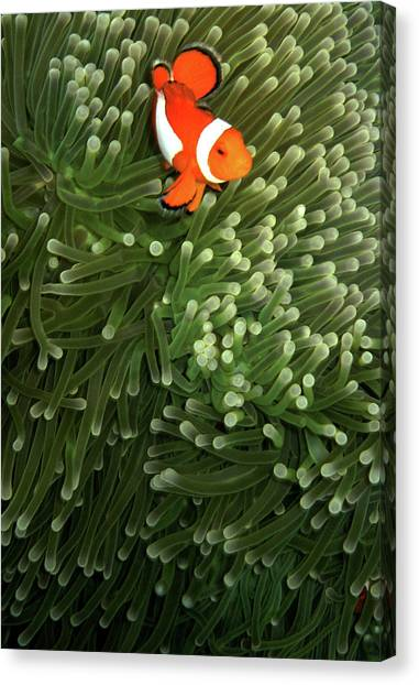 Anemonefish Canvas Print - Orange Fish With Yellow Stripe by Perry L Aragon