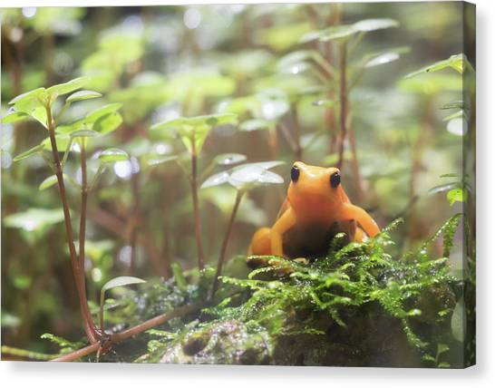Canvas Print featuring the photograph Orange Frog. by Anjo Ten Kate