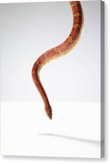 Orange Snake Hovering Above The Table Canvas Print by Michael Blann