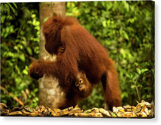 Orangutans Canvas Print - Orangutan With A Baby by Marcel Bettonville