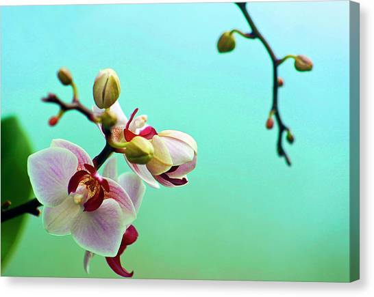 Orchids Out For A Breath Of Fresh Air Canvas Print by Photo By Alan Shapiro