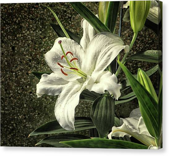 Canvas Print featuring the photograph Crystal Blanca Oriental Hybrid Lily by Bill Swartwout Fine Art Photography