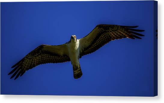 Osprey Glide In Blue Canvas Print
