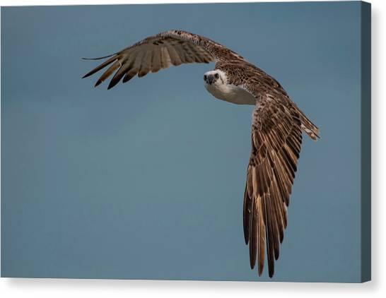 Osprey Canvas Print