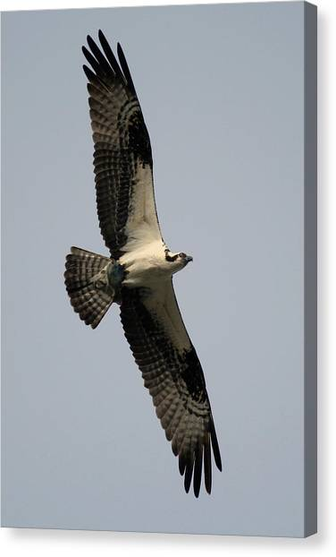 Osprey With Fish Canvas Print