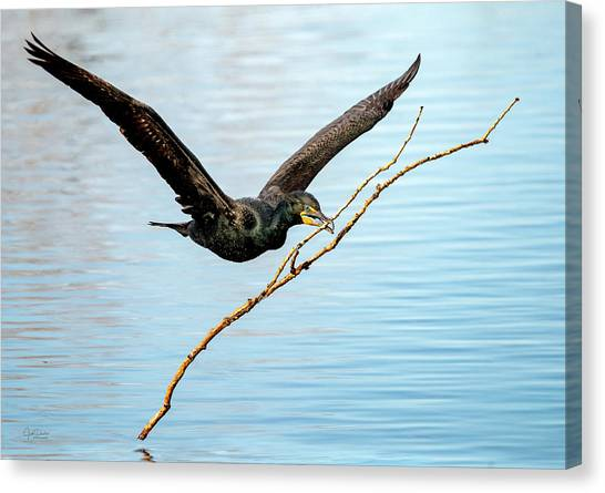 Over-achieving Cormorant Canvas Print