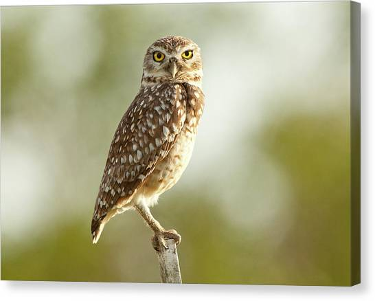 Owl On Blurred Background Canvas Print by © Jackson Carvalho