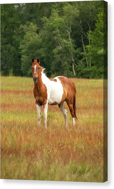 Paint Horse In Pasture Canvas Print