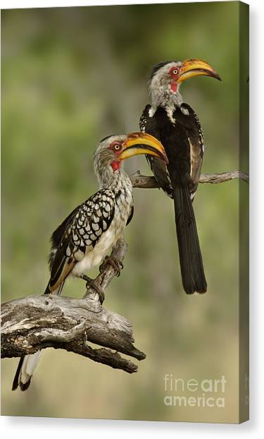 Southern Africa Canvas Print - Pair Of Southern Yellowbilled Hornbills by Johan Swanepoel