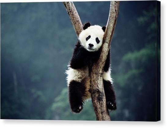 Sleeping Giant Canvas Print - Panda Cub Ailuropoda Melanoieca by Keren Su