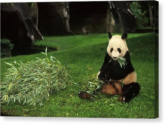 Panda Yen Yen Celebrates His 25th Canvas Print by Xavier Rossi