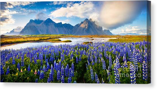 North Shore Canvas Print - Panorama Of Blooming Lupine Flowers On by Andrew Mayovskyy