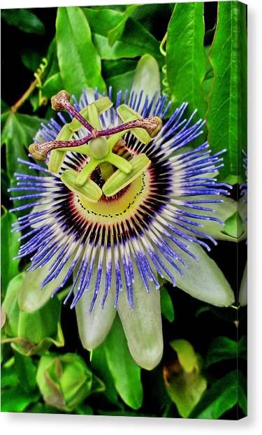 Passion Flower Bee Delight Canvas Print