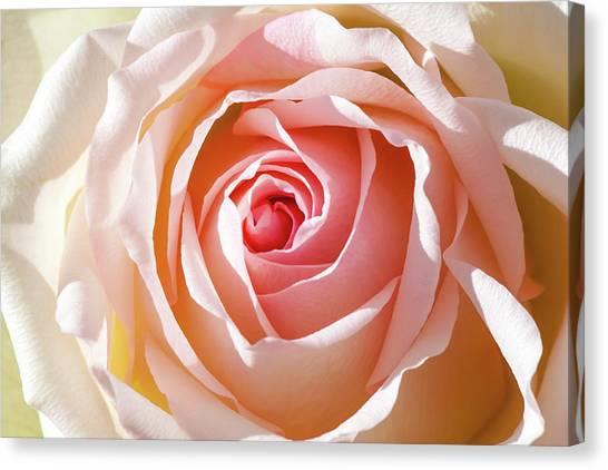 Greeting Canvas Print - Soft As A Rose by Az Jackson