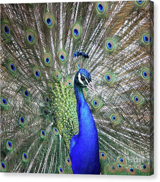 Peacock Portrait Canvas Print