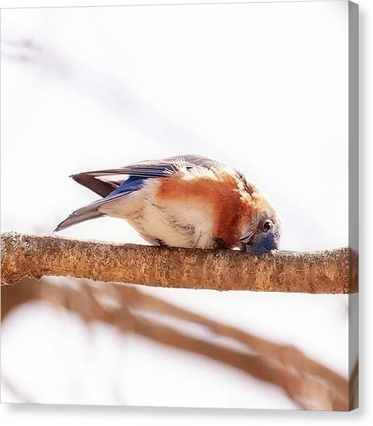 Peek-a-boo Blue Bird Canvas Print