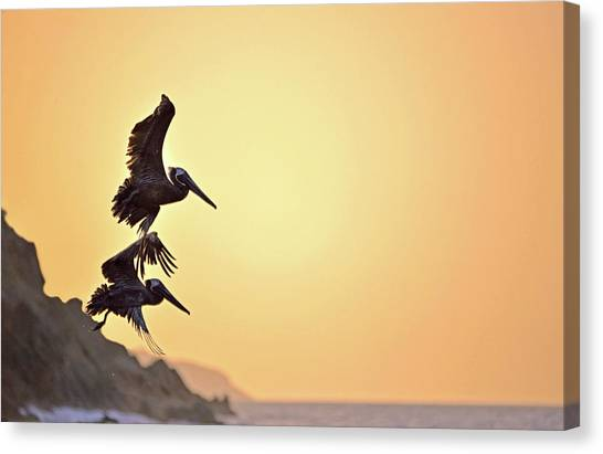 Pelican Down Canvas Print