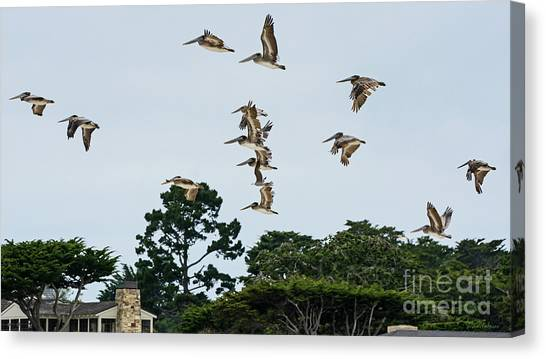 Pelicans Flying Above Homes Canvas Print