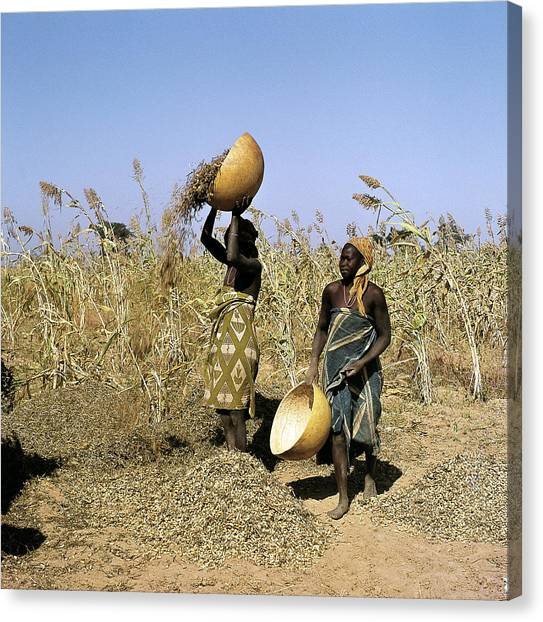 Nigeria Canvas Print - People Harvesting Groundnuts, One Of by Joe B Blossom