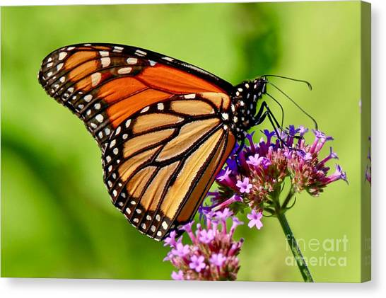 Perfect Monarch Canvas Print