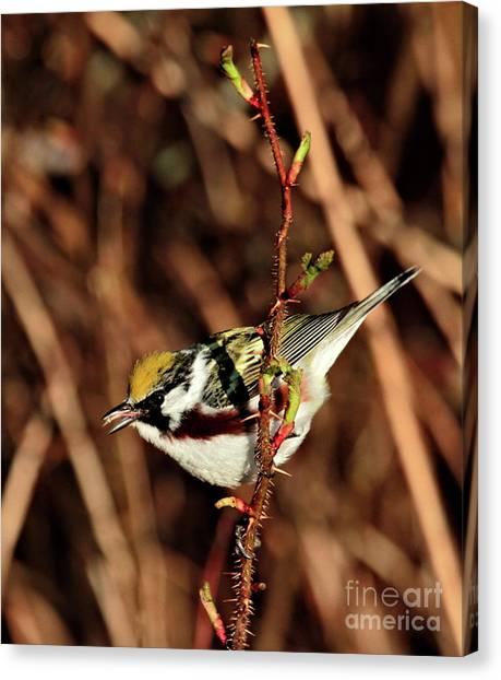 Perky Little Warbler Canvas Print