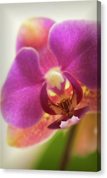 Phalaenopsis Orchid Flower, Close-up Canvas Print by Maria Mosolova