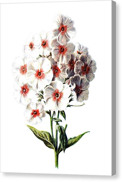 Dahlias Canvas Print - Phlox Flower by Naxart Studio