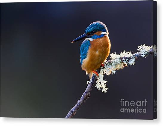 British Canvas Print - Photo Of A Common Kingfisher Alcedo by Andrewsproule