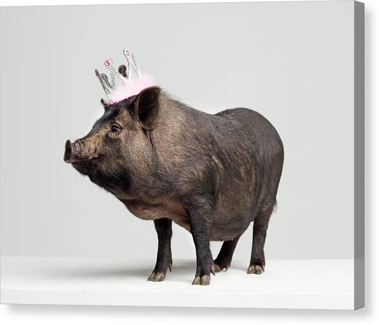 Pig With Toy Crown On Head, Studio Shot Canvas Print