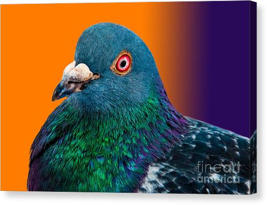 Grey Background Canvas Print - Pigeon Close Up Portrait Isolated In by Altin Osmanaj
