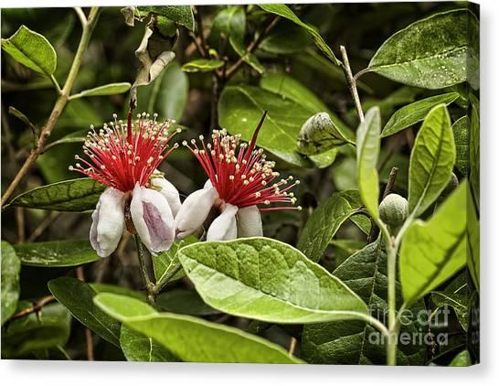 Carolina Canvas Print - Pineapple Guava Feijoa Sellowinia by Phill Doherty