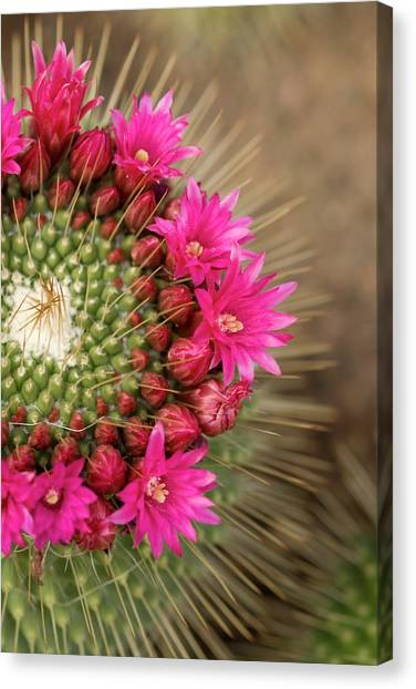 Pink Cactus Flower In Full Bloom Canvas Print by Zepperwing