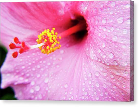 Hibiscus Canvas Print - Pink Hibiscus Drops by Sean Davey