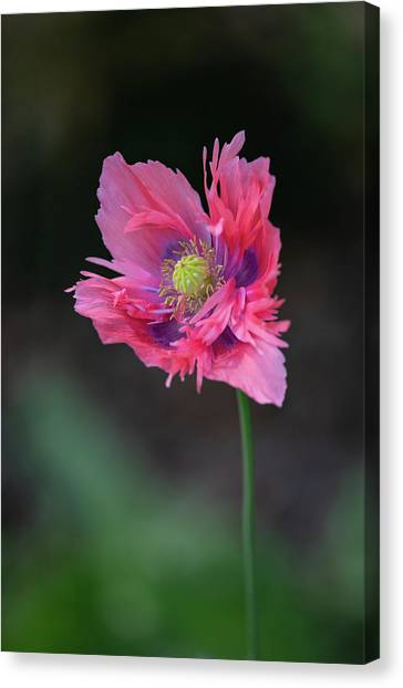 Canvas Print featuring the photograph Pink Poppy by Dale Kincaid