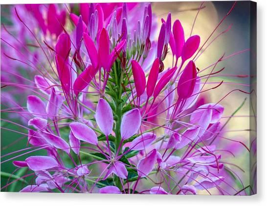 Pink Queen Flower Canvas Print